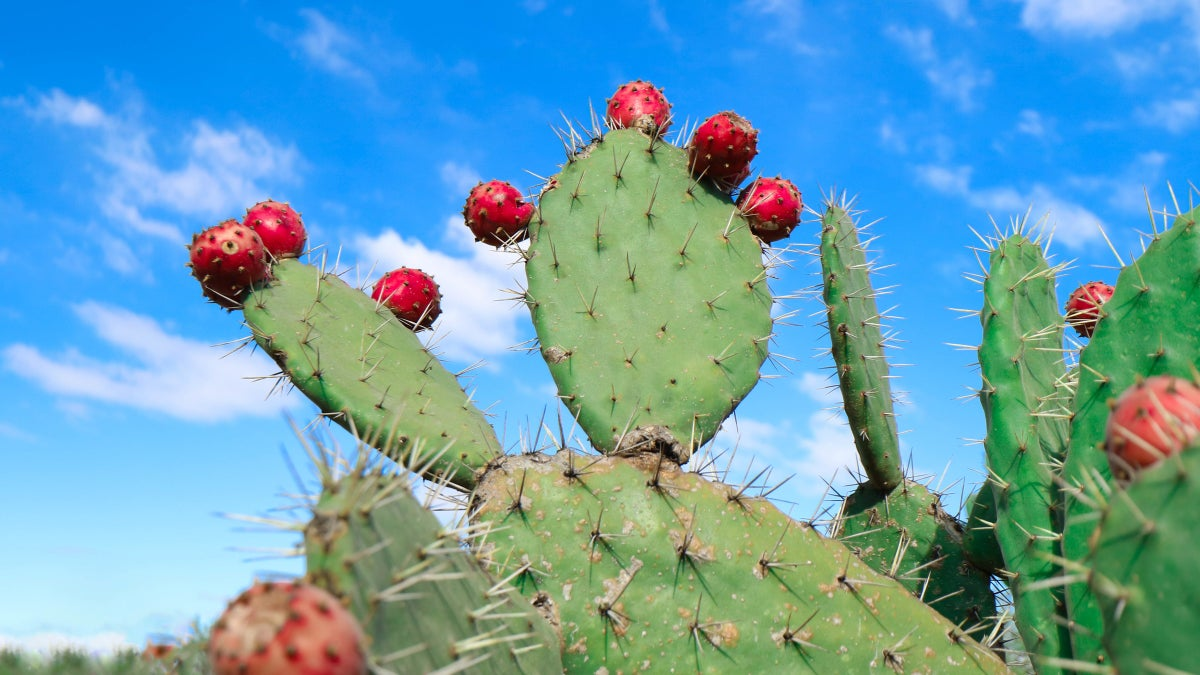 Cactus: A Highly Sustainable and Healthy Food