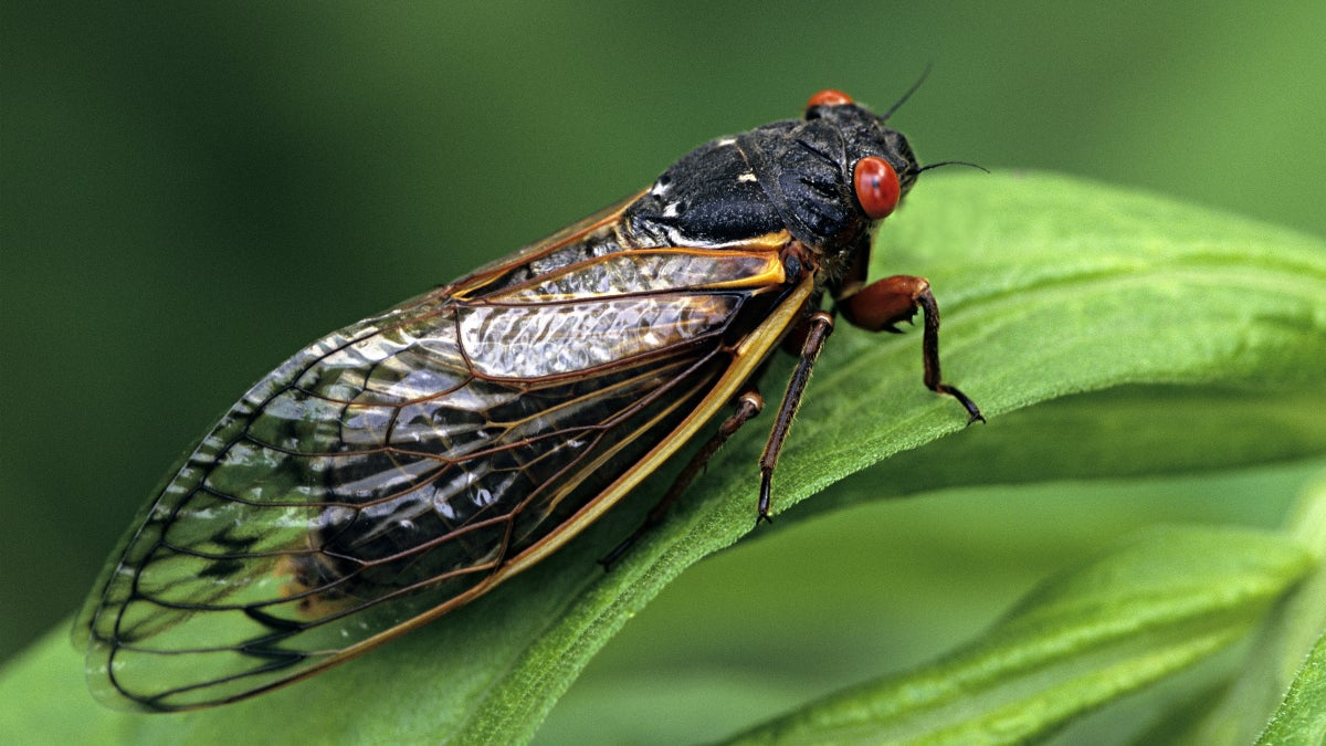 Cicadas Are Summer's Hottest, Grossest Food Trend – Should You Try Them?