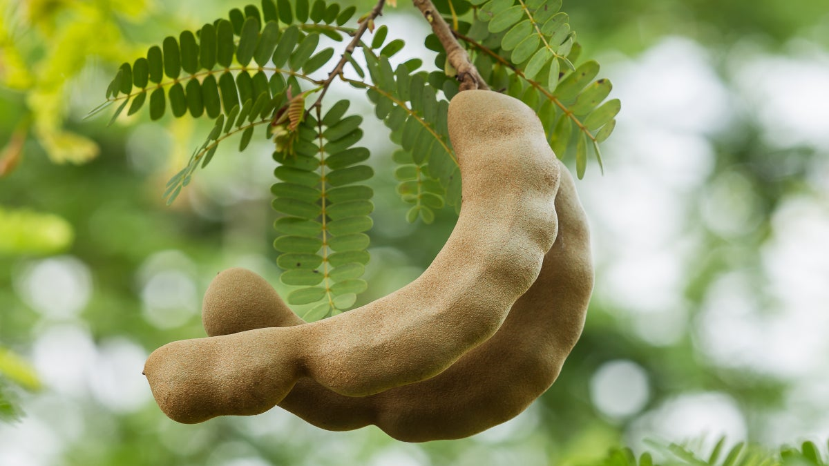 Get to Know Tamarind, a Fruit You've Tried Without Realizing It